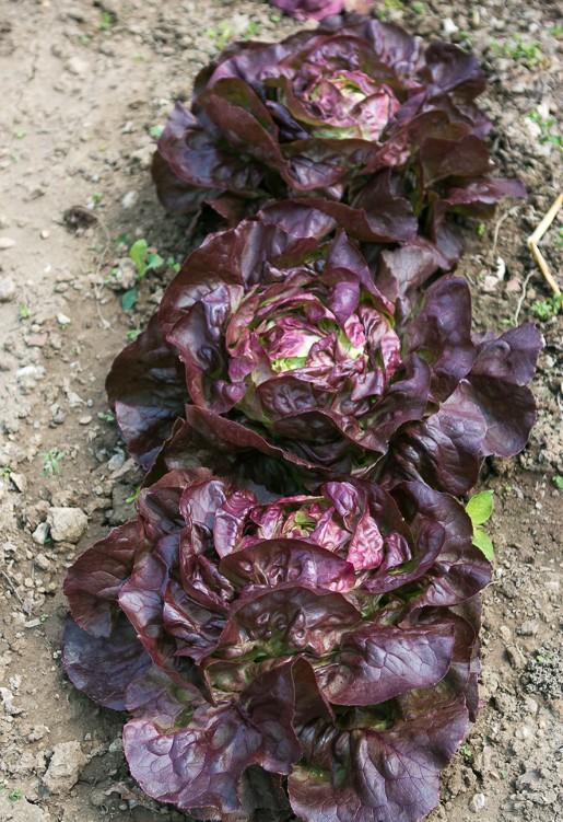 Garden at Versailles - Lettuce