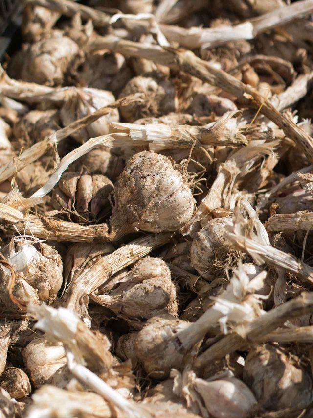La Ferme de Viltain farm garlic